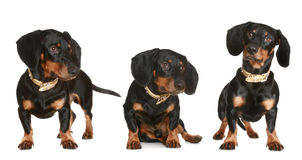 Three black and brown dachshund puppy Royalty Free Stock Photography