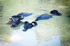 Three black buffalo swimming Royalty Free Stock Photos
