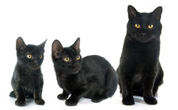 Three black cats Stock Image
