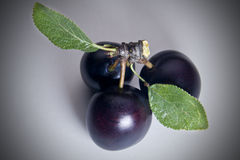 Three Black Cherry Plums Stock Photography