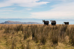 Three black cows Royalty Free Stock Image