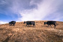 Three black cows or yak of the local villagers in China while walking Stock Image