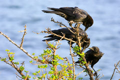 Three black crows on a branch. Three black crows perched on a tree branch Royalty Free Stock Photos