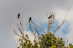 Three black crows on a branch Royalty Free Stock Photo