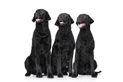 Three black Curly coated retrievers Royalty Free Stock Images