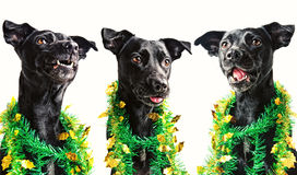 Three black dogs singing Christmas carols. Isolated on white Royalty Free Stock Images
