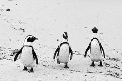 Three black-footed african penguin Royalty Free Stock Image