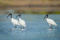 Three Black-headed ibis(Threskiornis melanocephalus) Royalty Free Stock Image