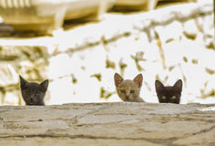 Three black  kittens golden kitten Stock Photography