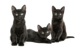 Three Black kittens looking at the camera, 2 months old Royalty Free Stock Photos