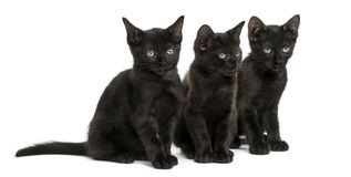 Three Black kittens sitting, 2 months old, isolated Royalty Free Stock Photo