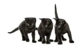 Three Black kittens standing, looking down, 2 months old Royalty Free Stock Images