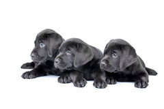 Three Black Lab Puppies Stock Photos