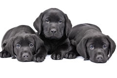 Three black lab puppies stock photos