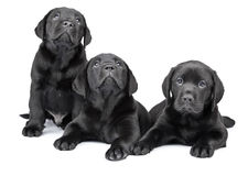 Three black labrador puppies stock photo