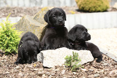 Three black labrador retriever puppies Royalty Free Stock Photos