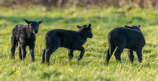 Three black lambs in Spring Royalty Free Stock Photos