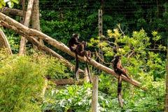 Black lemurs. Three black lemurs sit on a branch Royalty Free Stock Images