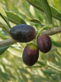 Three black olives on the branch Stock Photos