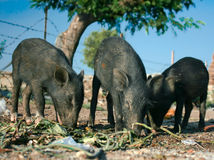 Three black piglets are eating outside Stock Photos