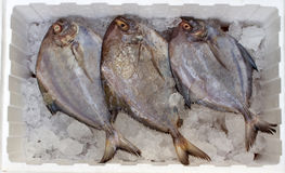 Three of black Pomfret Stock Photography