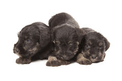 Three black puppies of Miniature Schnauzer Royalty Free Stock Photos