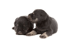 Three black puppies of Miniature Schnauzer Royalty Free Stock Photo