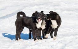 Three black puppy. Stock Photography