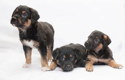Three black puppy with red spots and white legs Royalty Free Stock Photography
