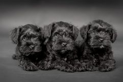 Three black puppy of zwergschnauzer Stock Image