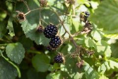 Three black raspberries Royalty Free Stock Photo