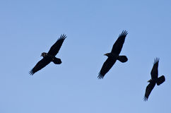 Three Black Ravens Flying in a Blue Sky Stock Photography
