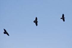 Three Black Ravens Flying in a Blue Sky Royalty Free Stock Photo