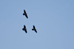 Three Black Ravens Flying in a Blue Sky Royalty Free Stock Photography