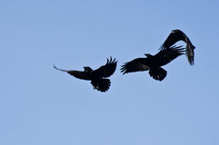 Three Black Ravens Flying in a Blue Sky Royalty Free Stock Images