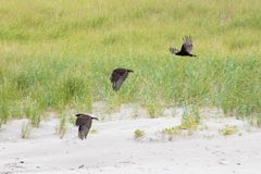 Three black Ravens flying on the beach. Three black Ravens playing on the beach on a summer day Royalty Free Stock Image