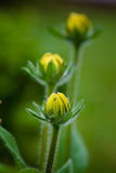 Three black susan buds in a garden stock photography