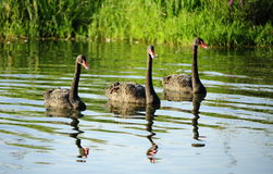 Three black swan Royalty Free Stock Photo