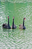 Three black swan Royalty Free Stock Images