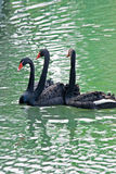 Three black swan Stock Photography