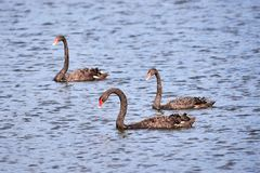 Three Black swans Cygnus atratus in water. Three Black swans Cygnus atratus swimming in water stock images