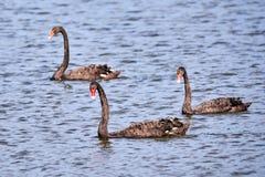 Three Black swans Cygnus atratus in water. Three Black swans Cygnus atratus swimming in water stock image