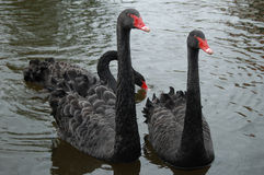 Three Black swans. In a lake near venlo netherlands Royalty Free Stock Images