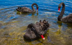 Three Black Swans stock photography