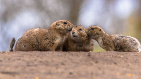 Three Black-tailed prairie dog Royalty Free Stock Photos