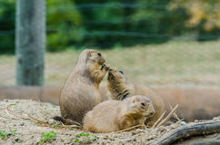 Three Black Tailed Prairie Dogs Royalty Free Stock Photos