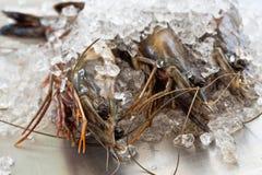Three black tiger shrimp. Raw black tiger shrimp on crushed ice Royalty Free Stock Image