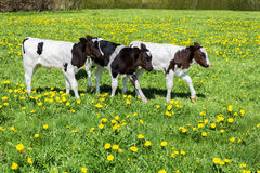 Three black white calves walk in green meadow with dandelions Royalty Free Stock Photo