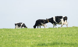 Three black and white cows grazing Stock Image