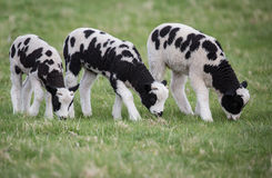Three black and white lambs in a field eating grass, with little horns Stock Photo